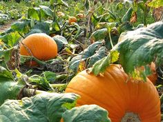 Pumpkins are easy to grow