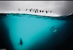 Penguins by David Doubilet,dailymail.co.uk :Gentoo and Chinstrap penguins on an ice floe near Danko Island. #Antarctica #Penguins
