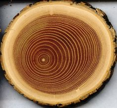 oak tree- rings tell the age of the tree