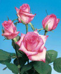 Roses: Bicolor, Novelty,Pink.** Light pink Petals Edged in Hot Pink. ** Variety:( Vogue) ** Number of Petals: (40-44) ** Vase Life:(10-12) Days.** Fragrance: (NO)