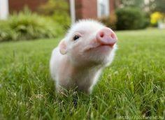 Why I want a miniature pig