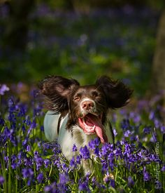 heart, english springer spaniels, ears, happiness, springer spaniel puppies, happy dogs, flowers, fields, backyards