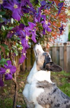 Stopping to smell the flowers - cardigan welsh corgi
