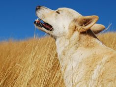 Canaan Dog in Field
