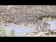 The wildebeest migration makes their way across the perilous Mara River in Serengeti National Park. Footage shot by Thomson Safaris' guest, Keeley Keenahan.