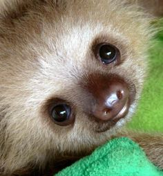 Baby sloth. There aren't many things cuter than a baby sloth.