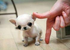 Tiny chihuahua!!!OMG....I want one!