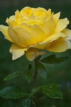 Rose - Stalk - Petals - Leaves