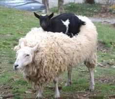 farm, animal pics, funny animals, goats, funny pics, friends, funny pictures, sheep, hilarious photos