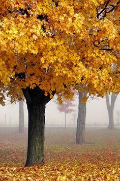 Autumn mist fall leaves, tree, autumn leaves, color, favorit season
