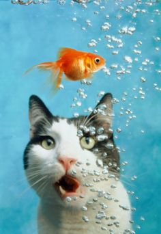 ooooo... Chat, poisson rouge