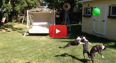 Three Boston Terriers Going Crazy for a Green Balloon! - Watch the Video here ► http://www.bterrier.com/?p=23641 - https://www.facebook.com/bterrierdogs