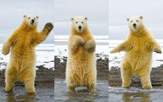 funny pics, happy dance, polar bears, dance moves, disco