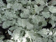 Tanacetum densum (partridge feather).   Plant in full sun in well drained soil. Tanacetum prefers to be planted in sandy soils... but will adapt to most soil types except hard heavy soils. Fairly drought tolerant. Max 10 in.  Bulk seed spread for easy start. Member of tansy/feverfew family.