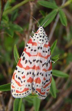 Rattlebox Moth (Bella Moth)