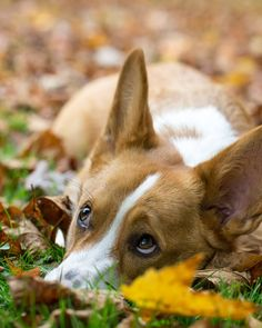 anim, small dogs, big eyes, pembroke welsh corgi, ador, puppi, boy pet, friend, autumn pet