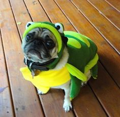 Cute Pug in Turtle Halloween Costume Funny - Jasper