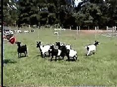 faint goat, prank, christma gift, gift idea