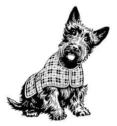 Scottish Terrier in Plaid Coat