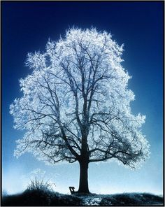 frosted tree