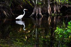 Pic from a short family drive through the Everglades. Hannah took this one of a Egret.