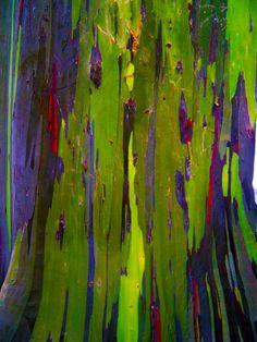 Rainbow Eucalyptus Tree Texture, Maui.
