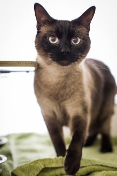 """PASCAL is a classic """"Seal Point"""" Siamese with blue eyes. (Seal points have dark brownish ears, face and backend tail coloring). Siamese are known for their intelligence and loyalty to people. Our cat volunteer says he's a sweet boy!The first..."""