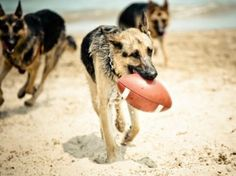 pet, at the beach, german shepherds, puppi, beach time, happy dogs, football season, football team, dog breeds