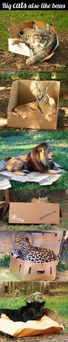 this made me LOL! Big cats also love boxes