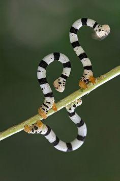Looper Moth Caterpillars. Photo by Piotr Naskrecki.