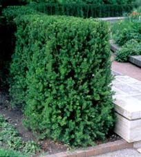 evergreens on pinterest plants dwarf trees and. Black Bedroom Furniture Sets. Home Design Ideas