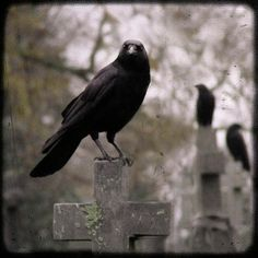 Cemetery Crows Poster By Gothic And Crows Art Photography