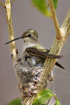 Hummingbird in its wee nest.