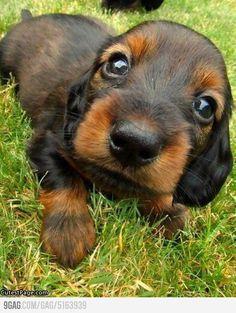 mine a kiss, anim, little puppies, dachshund, puppy face, puppy dog eyes, baby dogs, baby puppies, puppy eyes