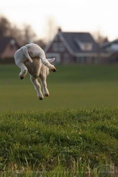 Sheep leaping. Happy baby!