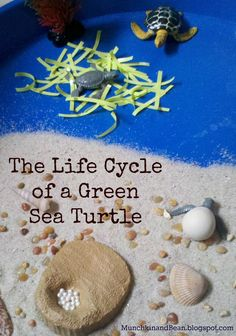 The Life Cycle of a Green Sea Turtle