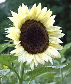 Sunflower Coconut Ice