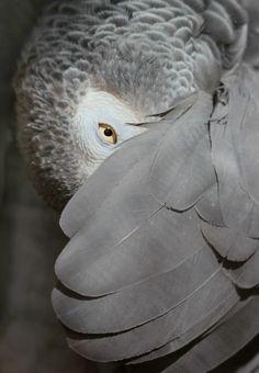 too cute!! African Grey