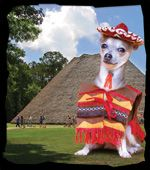 """Chihuahua Parade and Costume Contest, May 3, 2014 from 10:00 a.m. – Noon at Mission San Luis in Tallahassee, Florida. All Chihuahuas, Chihuahua wannabes, their companions, and their fans are invited to join the fun at the annual costume contest and """"paseo"""" around the plaza. All breeds are welcome. Costumes are optional, but there are prizes awarded in several categories."""