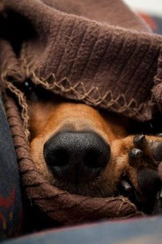 Just a peek at a burrowing dachshund :-)