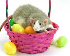 futur rat, rattast rat, pet rat, cuti pie, includ mine
