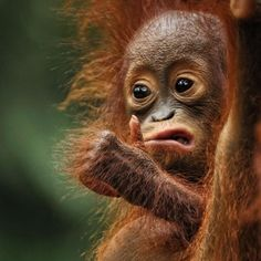 I wish this orangutan was the new judge on So You Think You Can Dance.