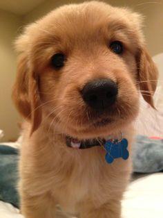Golden retriever puppy named Sonny!!