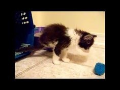 Happy Caturday!! Classic Anakin Video! My original video of Anakin Our Two Legged Miracle Cat :) Filmed on May 31, 2012. This video was taken when Ani had only been in our home for a few hours.  I knew then how special and important Anakin was to me but I had no idea how he'd become the same to all of you all over the world :) http://youtu.be/zMIBxFtvZKI