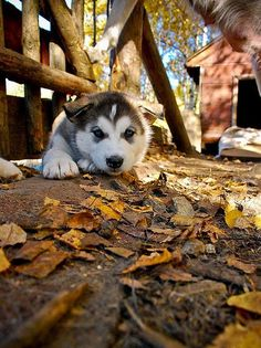 Siberian Husky puppy! They are the cutest