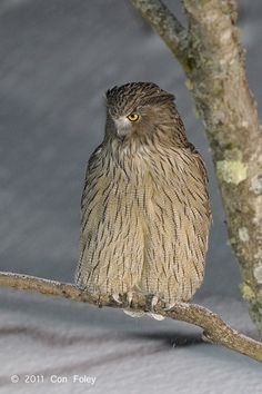 Blakiston's Fish Owl. Japan....possible the largest bird at 4.5