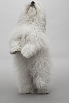 white shaggy dog