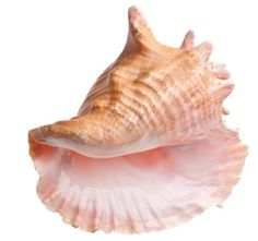 Conch shell lord of the flies