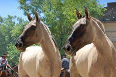 cream-colored ponies