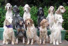 ENGLISH SETTER...I want all of them!